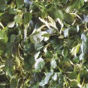Baswood leaf